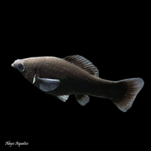 The Black Molly is a popular live bearing fish