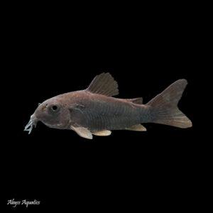 Black Venezuelan Corydora, Corydoras Aeneus, is a peaceful and striking little catfish.