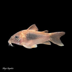 The Bronze Corydora is a peaceful and attractive little catfish