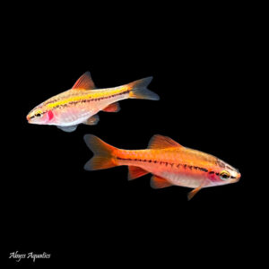 The Cherry Barb is a hardy and peaceful shoaling species
