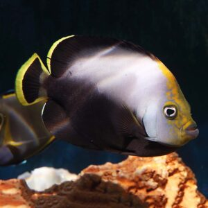 Velvet Angelfish are beautiful black and white angels