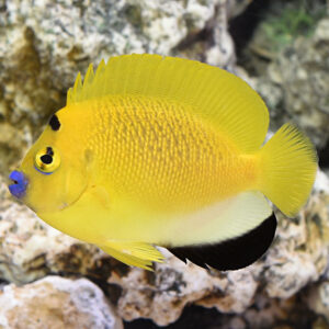 Flagfin Angelfish are also known as Three Spot Angels.