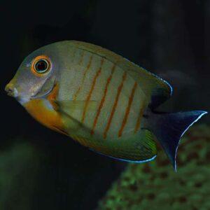 Mimic Tang - Red Stripe : Juvenile