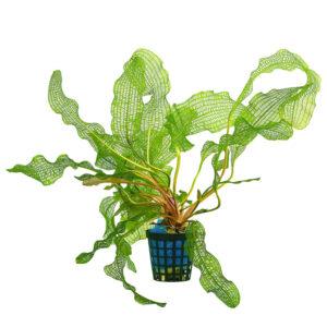 Madagascar lace plant: Aponogeton madagascariensis a striking bulb plant that come from Madagascar