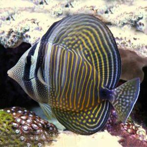 Sailfin Tang - Ind O stripy zebrazoma type tang