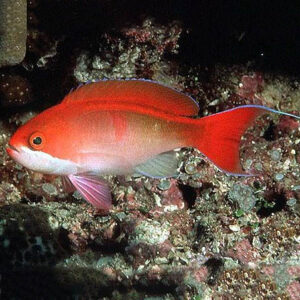 The bleeding heart anthias is also known as red bar anthia