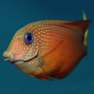 Blue Eye Tang brown body with yell spots and a yellow tail