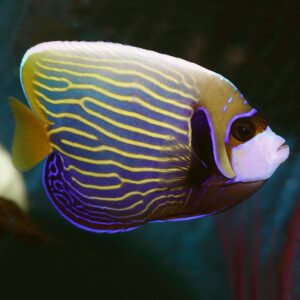 The Emperor Angel is also known as the Imperator Angelfish