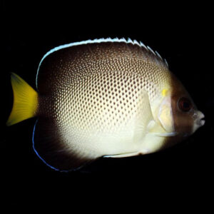 The Cream Angel is also known as the Indian Yellow Tail Angelfish.