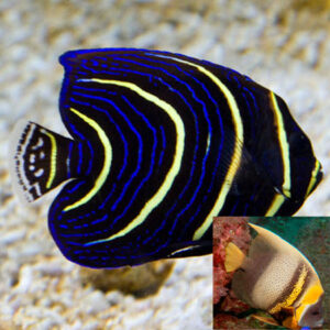 The Cortez Angel is an impressive, large marine Angelfish.