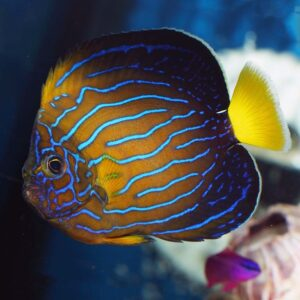 Chinese blueline angels are outstandingly beautiful fish