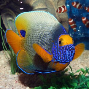 The Blue Face Angel is also known as the Yellowface or Yellowmask Angelfish.