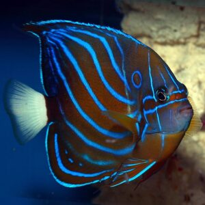 The Blue Ring Angel is also known as the Blue King Angelfish.