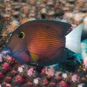 White Tail Tang yellow eyed tang with pure white tail