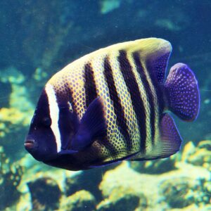 The Sixbar Angel is also known as the Sixbanded Angelfish or Six Striped Angelfish.
