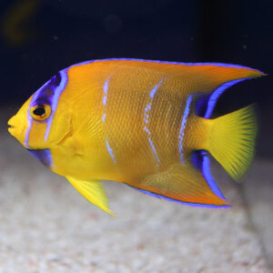 Queen Angelfish are also known as Blue Angelfish or Gold Angels.