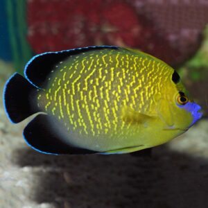 Goldflake Angelfish are also known as Gold spotted or Gold Spangled Angelfish.