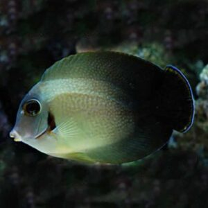 Mimic Tang - Half Black : Juvenile