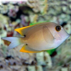 Gold Rush Tang popular bristle toothed tang with golden edged fins
