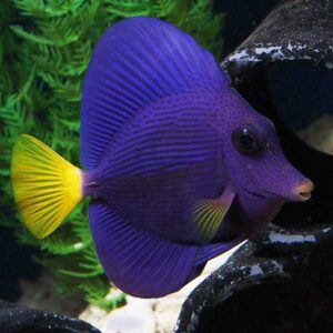 Purple tang peaceful mid sized reef safe tang