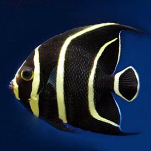 The French Angel is an extremely popular marine aquarium fish.