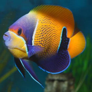 The Majestic Angel is also known as the Blue Girdled Angelfish.
