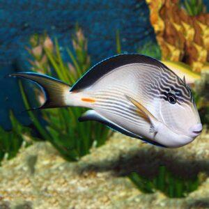 Sohal Tang beautiful Red Sea striped tang