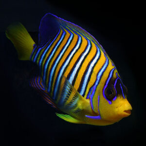 Yellow Throat Regal Angelfish are Regal Angels with a yellow chin, as opposed to blue.