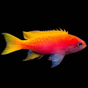 Scribbled Anthias are also known as Twin Spot Anthias or Two Spot Anthias