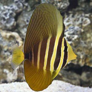 Sailfin Tang Veliferum Pacific