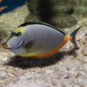 Lipstick Tang Lituratus tang fish that looks like it has lipstick on