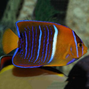 Passer Angelfish are also known as King Angelfish.