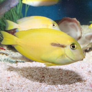 Orange Shoulder Tang : Juvenile
