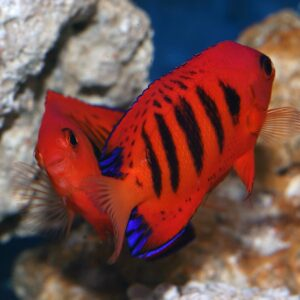 Flame Angelfish Pair fabulously striking bright red dwarf angel with black vertical bars