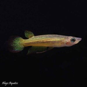 Golden panchax fish