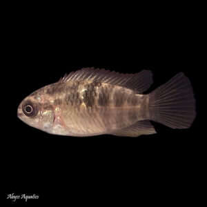 The Red Breast Acara is a peaceful dwarf cichlid from South America