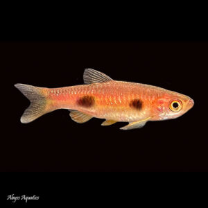 The Clown Rasbora is a unique species within its family, displaying beautiful colouration