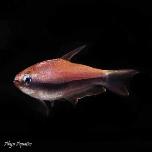 Emperor Tetra nice fish from south america