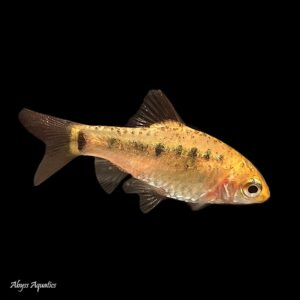 The Gold Barb has been a classic choice for decades