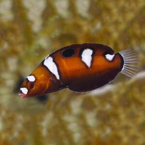 The Formosa Wrasse is also referred to as the Formosan Coris or Queen Coris