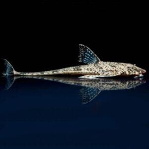 Common Whiptail Catfish