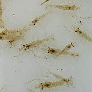 Live Feeder Shrimps