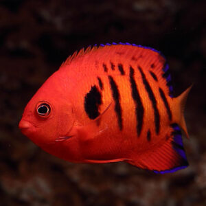 flame angelfish or Centropyge loriculus the most striking and popular dwarf marine angelfish