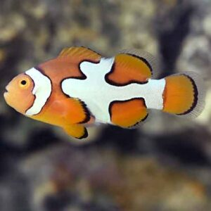 picasso clownfish are beautiful