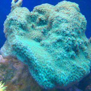 Green Encrusting Montipora is a beautiful green encrusting coral.