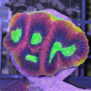 Dragon Soul Favia is a stunning brain coral.