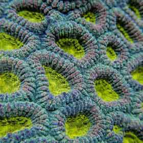 Gold Eye Favia is beautiful brain coral.