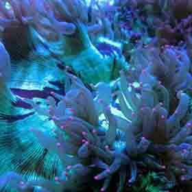 Pink tip elegance Catalaphyllia jardinei is a beautiful, anemone-like hard coral.