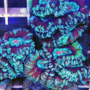 Red Green Symphyllia is an amazingly patterned and vibrant brain coral.