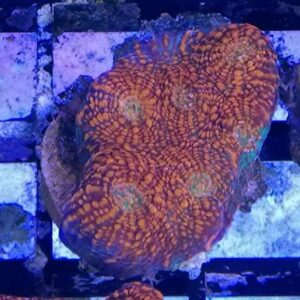 Red Chalices are gorgeous corals with an intricate stripped pattern.